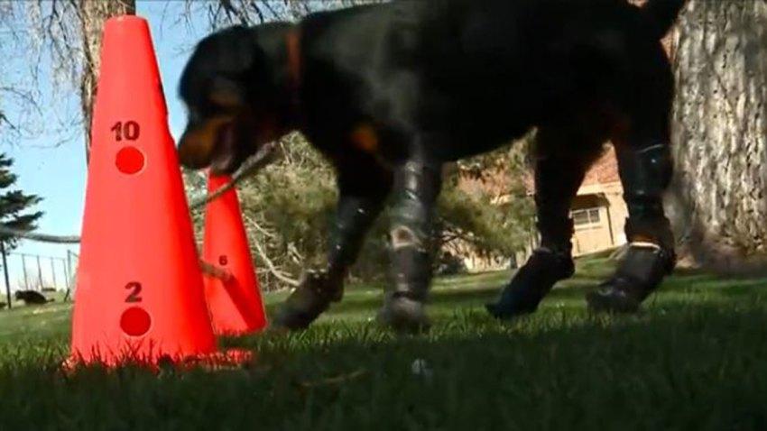 brutus-patas