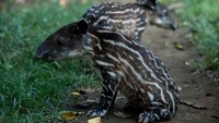 Alegría en zoo latinoamericano tras nacer dos tapires en peligro de extinción